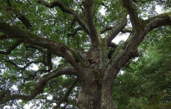 Quercus (Quercia)