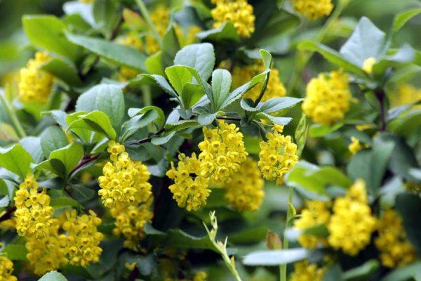 BERBERIS-crespino-arbusti