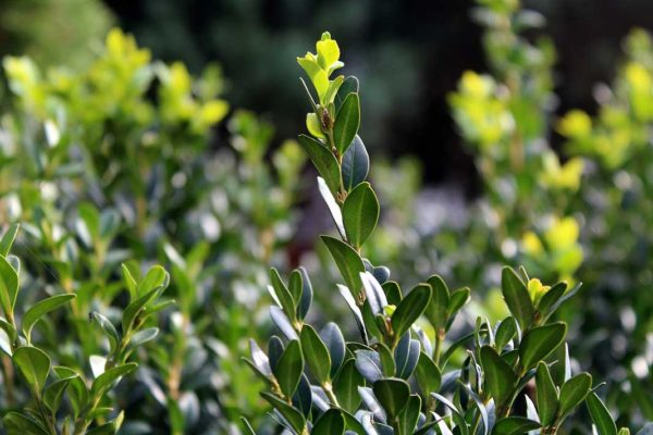 BUXUS (Bosso)